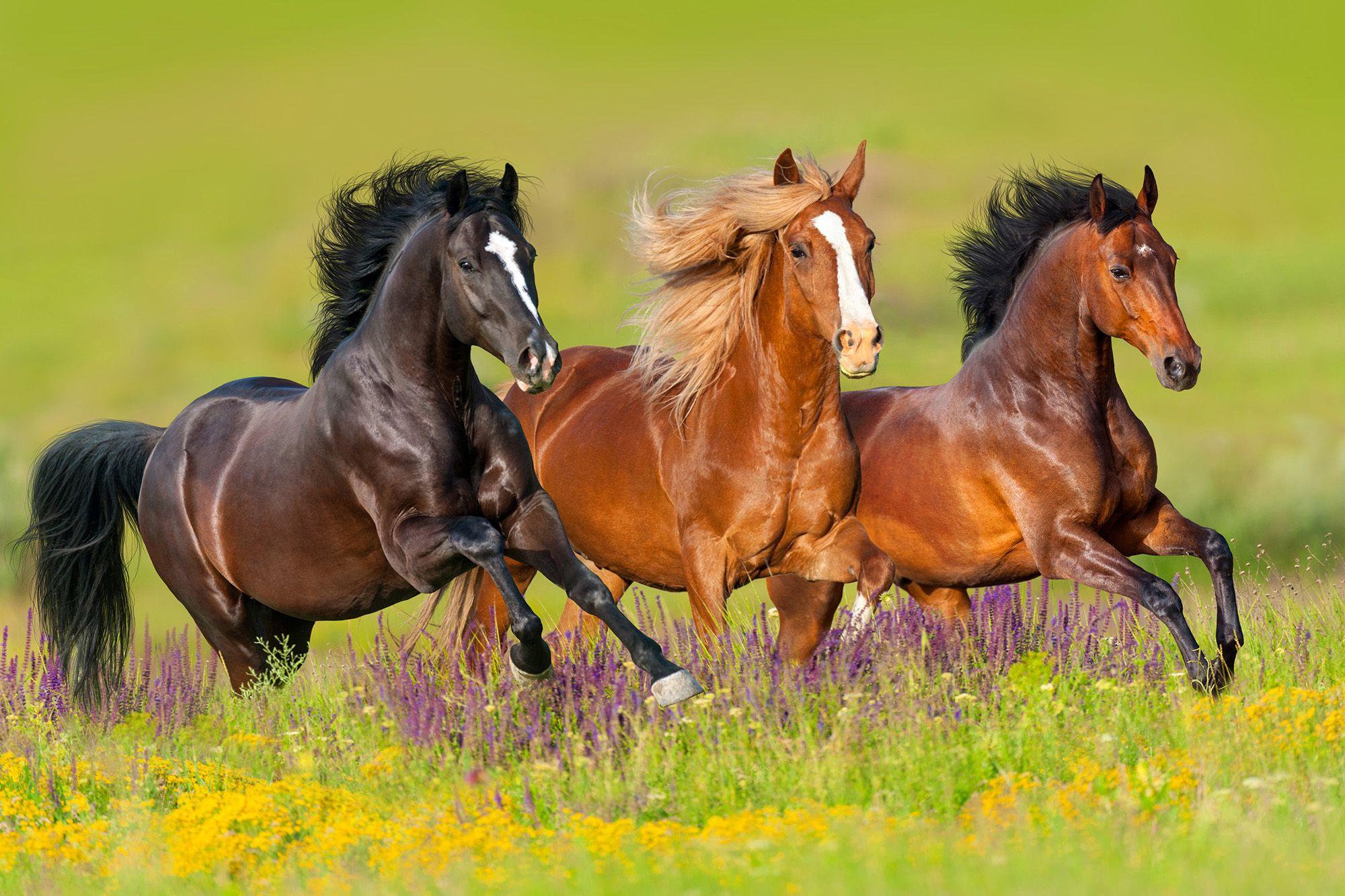 خرید اسب شیراز | باشگاه سوارکاری ماهان