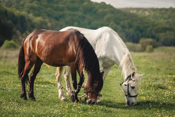 خرید اسب عرب در شیراز | باشگاه سوارکاری ماهان